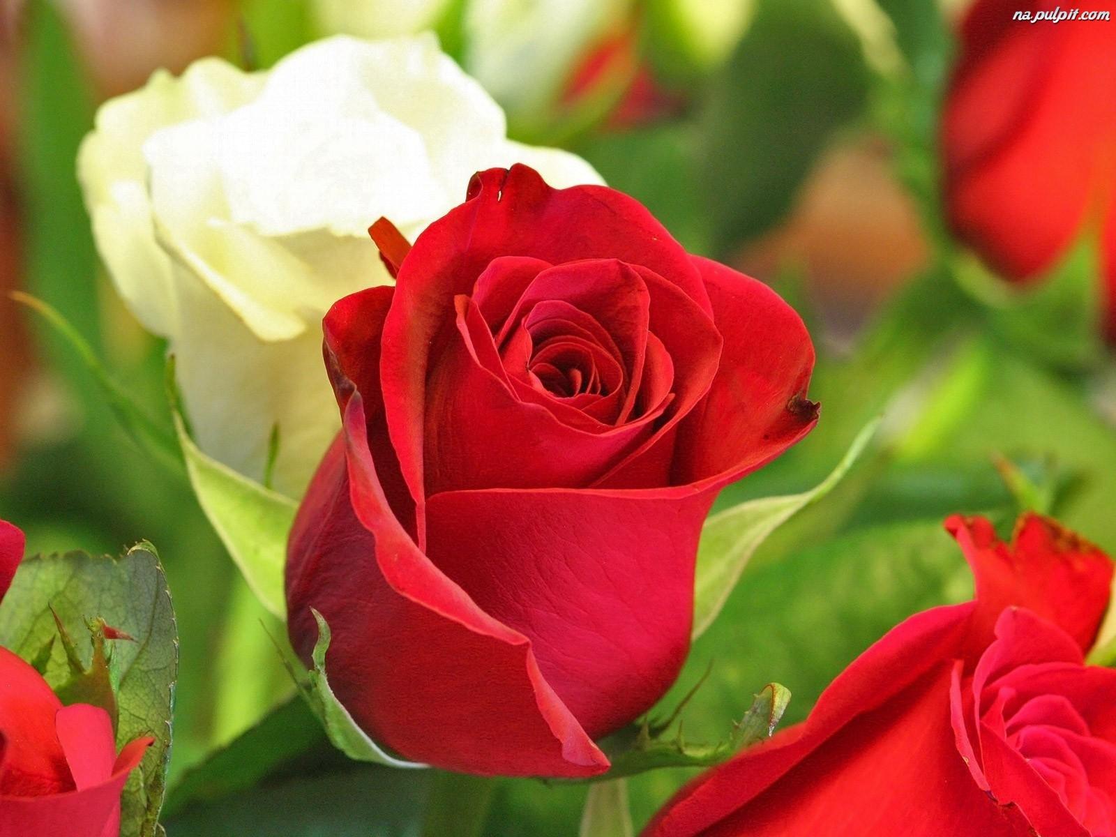 Kwiaty Roze Czerwone